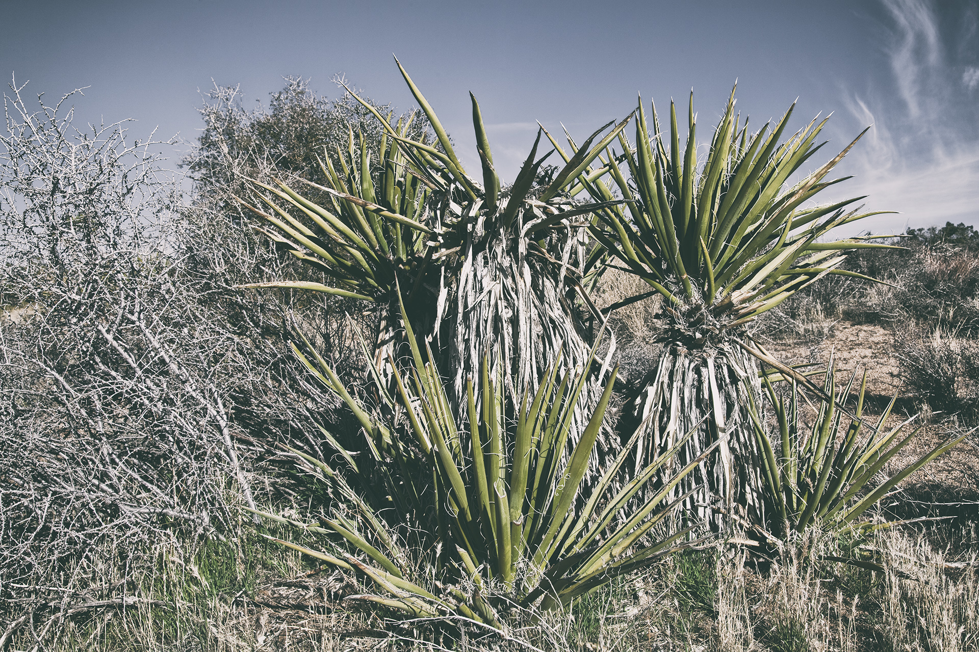 personal series: joshua trees and desert plants | mojave desert | california – FOR SALE
